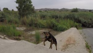 Perro al que le encanta el agua en la Contraparada o Azud Mayor del río Segura por Comunidad Biker MTB