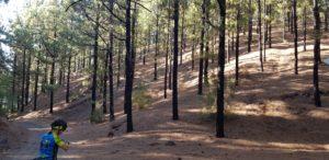 Bosque de pinos quemados sin vegetación en Santiago del Teide por Comunidad Biker MTB